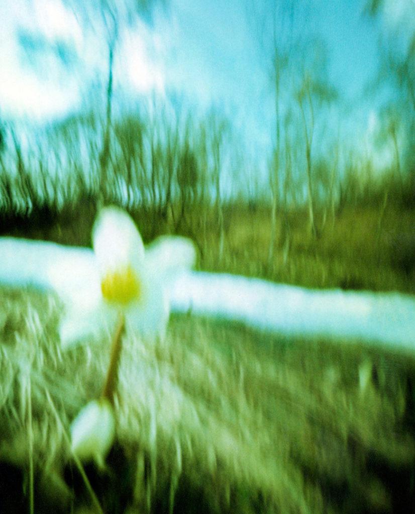 un bucaneve in un prato con una striscia di neve, sullo sfondo alberi; scansione da Polaroid