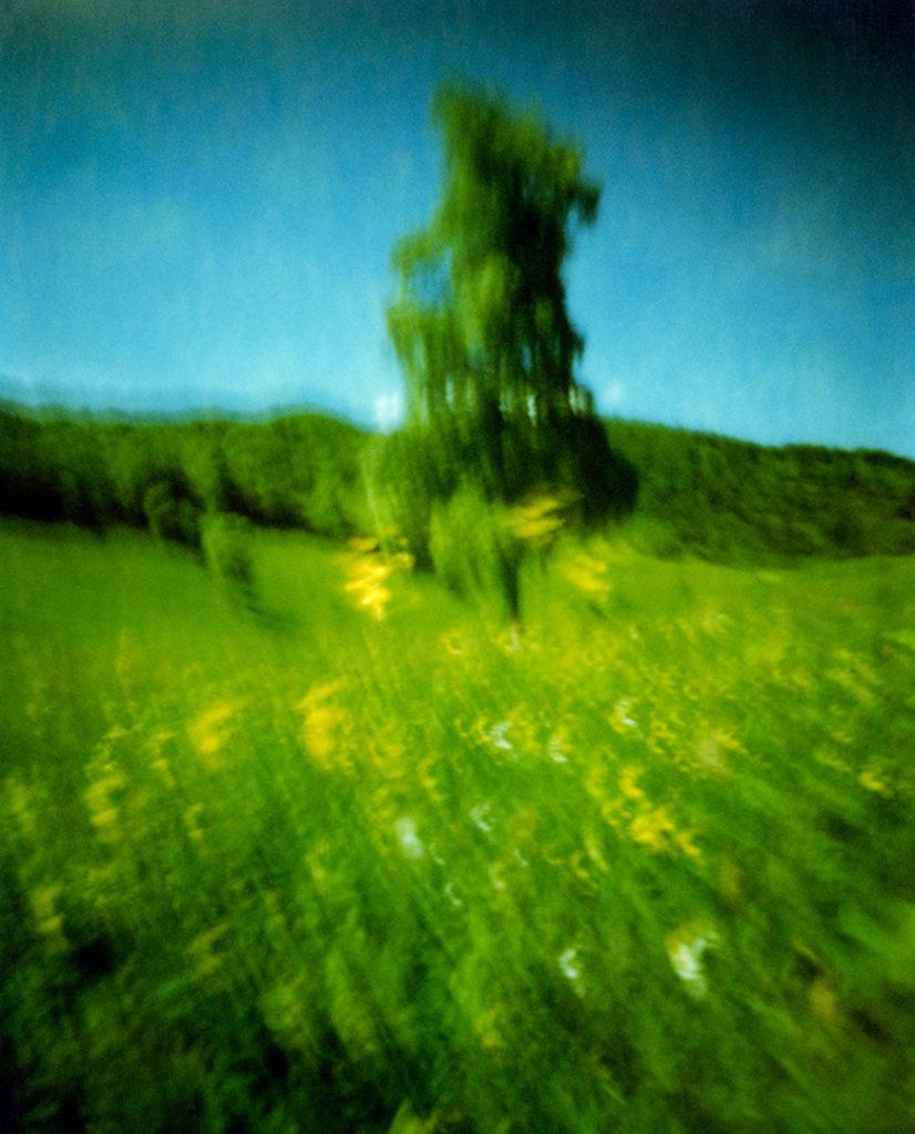 Un pino si erge in un prato con fiori gialli, sullo sfondo un bosco; Scansione da Polaroid