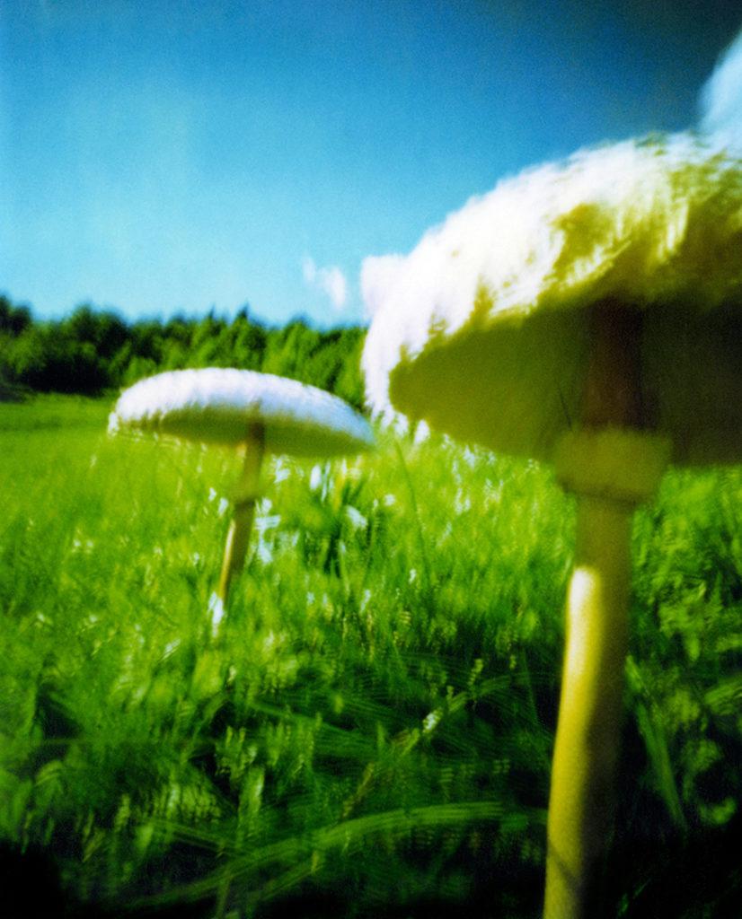 Funghi Mazze di Tambuto nel prato; scansione da Polaroid